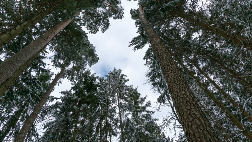 Snowy Spruce and Pine Forest, looking up
